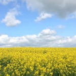 rapeseed yellow flower field
