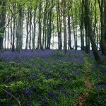 Bluebell field in a forest